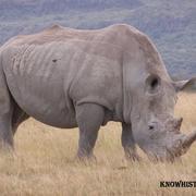 В 1826 году в США впервые показали диковинного зверя – носорога