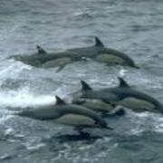 1987 года было зафиксировано первое военное использование подготовленных дельфинов